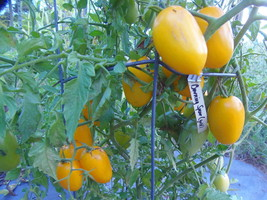Burning Spear - rare and striking golden tomato with fine flavor and pro... - $5.00