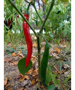 Chile de Arbol - a tall plant with long, slender, and very hot fruit - $4.00