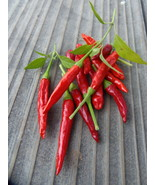 Chile Pequin - slender cones of fiery heat like perfect candle flames - $4.00