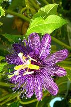 PASSION FRUIT purple flower vine maypop PASSIFLORA INCARNATA plant seed ... - $8.50