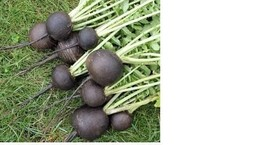 30+ Seeds Black Spanish Round Radish Heirloom Crisp Spicy Easy Grow Non-GMO - $1.36
