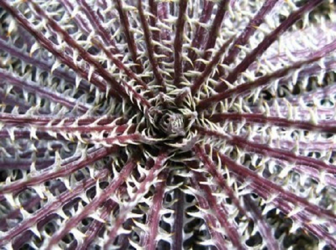 COLOR DYCKIA MIX exotic succulent hetchia agave xeriscaping aloe seed 100 SEEDS