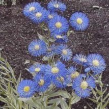2000 Fleabane Daisy Native Wildflower Flower Seeds - $7.99