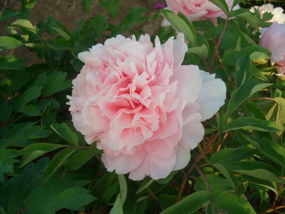 Primary image for Rare Zhao Fen Pink Fragrant Peony Tree Flower Organic 5 Seeds / Pack Home Garden