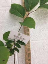 American Persimmon tree (Diospyros virginiana 'American) quart pot image 6
