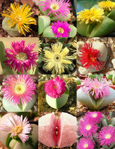 ARGYRODERMA MIX, succulent cactus mixed living stones rocks plant seed 2... - $7.10