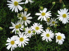 Brachyscome White Flower Seeds - $3.99