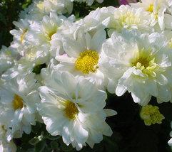 Chrysanthemum White , Babuna Flower Seeds - $2.99