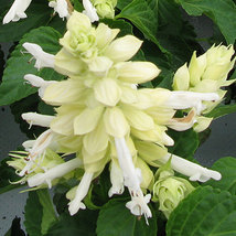 Salvia White Flower Seeds - $2.99