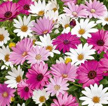 Dimorphotheca Mix Flower Seeds/ Dimorphotheca Seeds/ Flower Seeds - $3.99