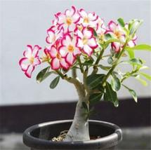 Heirloom Adenium seeds/desert rose flower seeds/Adenium/ buy Adenium seed online - $6.00