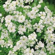 Heirloom Gypsophila seeds Snow White Flower seeds Gypsophila online - $3.99