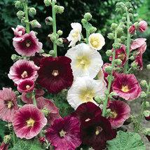 Heirloom HollyHock Seeds Mix color/ Hollyhock/ buy flower seeds at best price - $2.99