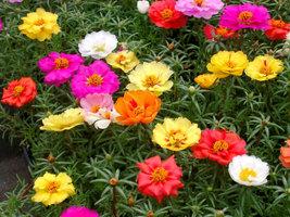 Raimbow mix beautiful Portulaca Flower Seeds for sale - $3.99