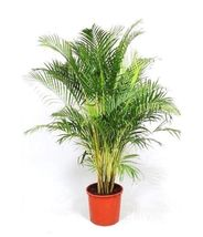 Dypsis Lutescens, ARECA palm golden cane palms ornamental plant seed - 2... - $8.50
