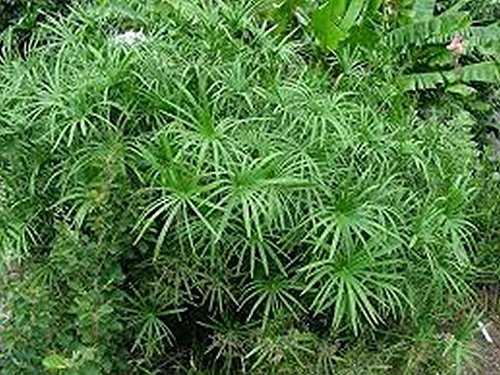 100 Umbrella Plant (Cyperus alternifolius) Seeds