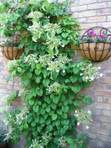 SHIPPED FROM US 100 Climbing Hydrangea White Flower Vine Seeds, LC03 - $19.00