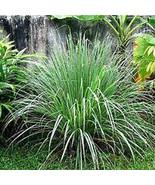 Citronella Grass (Cymbopogon nardus) - $55.95