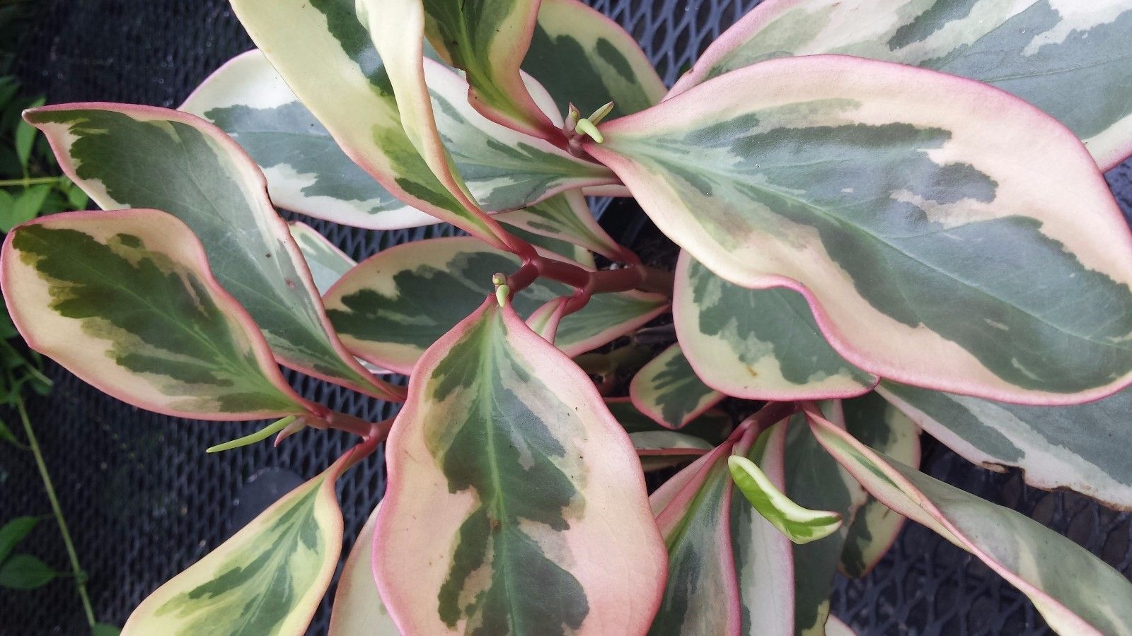 Peperomia Variegated in pink, white and green Beautiful ...