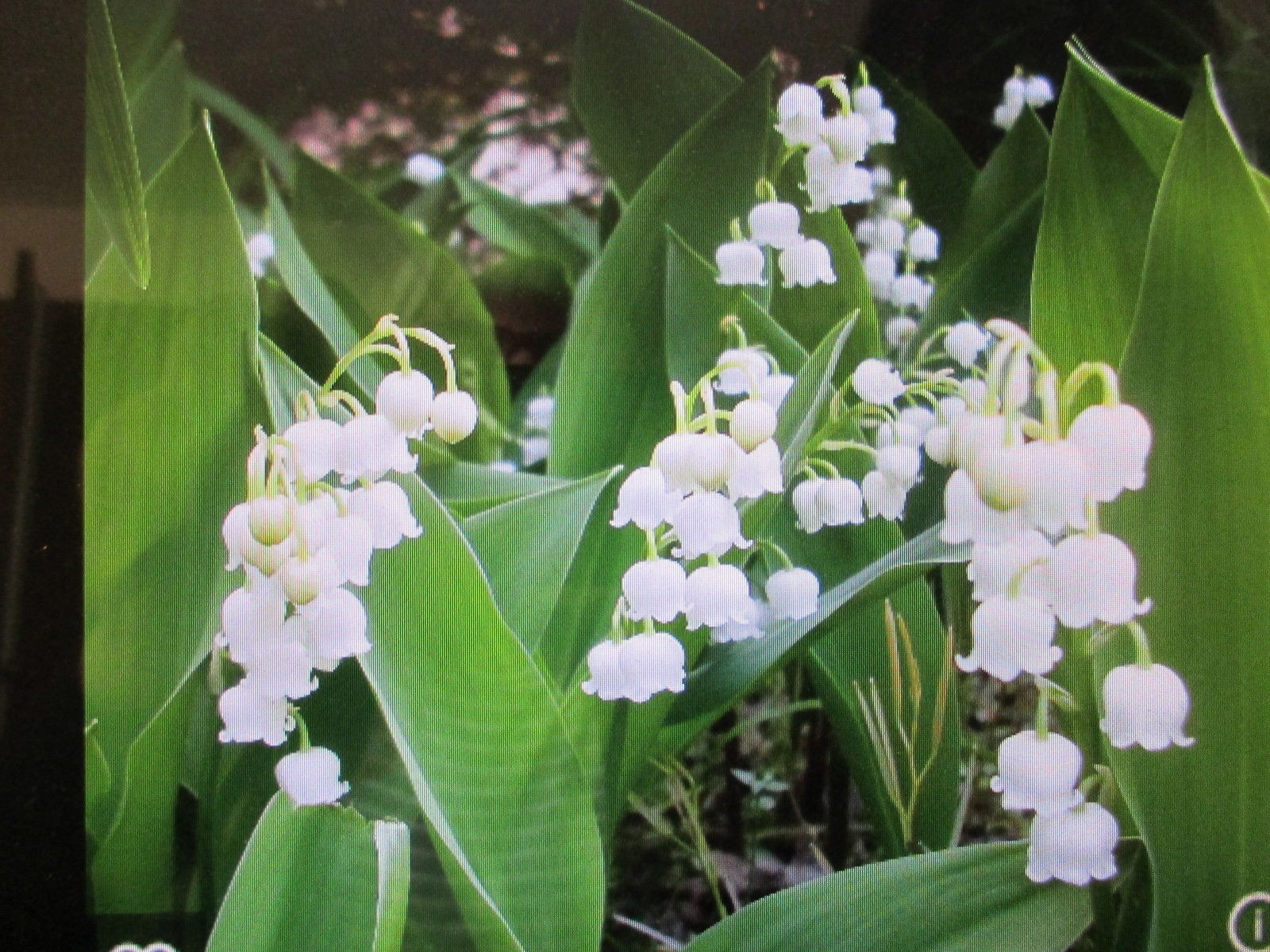 50 Home Grown Lily Of The Valley White Bell And Similar Items