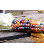 Glass Gem Corn - kernels glow like jewels - $3.75