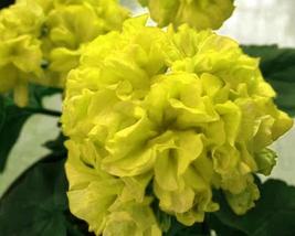 10pcs Very Admirabel Geranium Purely Greenish Yellow Big Blooms Flower Seed IMA1 - $14.99