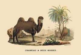 Chameau a Deux Bosses (Camel) by E. F. Noel - Art Print - $19.99+
