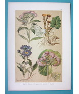 BOTANICAL PRINT 1896 Color Litho - Hemp Agrimony Coltsfoot Starwort - $7.64