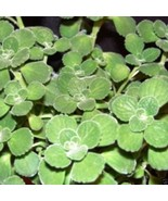 Oregano Seeds,AKA (Broad Leaf Thyme) Spanish thyme,Mexican Mint,Hung chanh - ₹208.85 INR