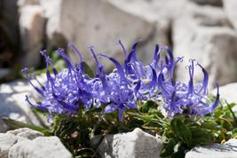 20 Phyteuma hemisphaerica, Alpine Plant Seeds - $8.95