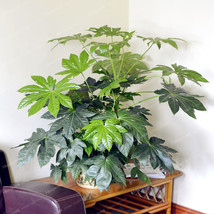 Palm Tree Turtle Leaves Monstera Potted Plants Seeds Perennial Rare Tree... - $4.76