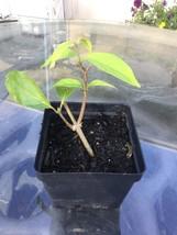 Banisteriopsis Caapi live plant Cielo strain - £5.47 GBP