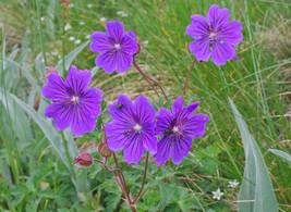 10 Seeds Geranium gymnocaulon Seeds, Alpine Plant Seeds - $8.00