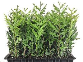 Thuja Green Arborvitae Giant Live 10 Trees Outdoor Plant Arborvitae-thuj... - $59.35