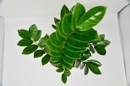 """Live Plant - Zamioculcas Zamiifolia 'ZZ' - 6"""" Pot - Outdoor Living - Houseplant - $80.99"""