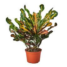 "6"" Pot - Croton Mammy - houseplant - Gardening - living room - FREE SHIP - $70.99"