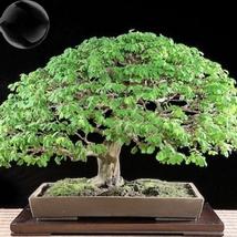 10 Seed Rare Outdoor Sybian Rain Silk Tree, DIY Beautiful Tree DO - $8.99