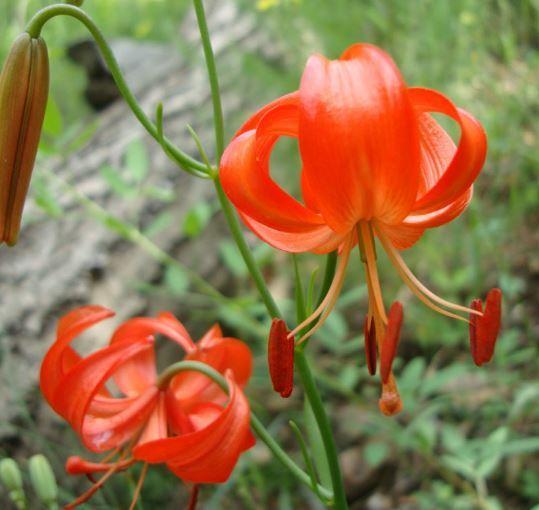 HAPPY FLOWER 2 Bulbs BURING True Lily Bulbs Perfume Flower High germination