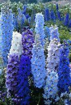 50 Bright Blue Delphinium Mix Seeds Perennial Flower Seeds - $12.99