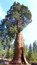 Giant sequoia, Sequoiadendron giganteum redwood... - $8.50