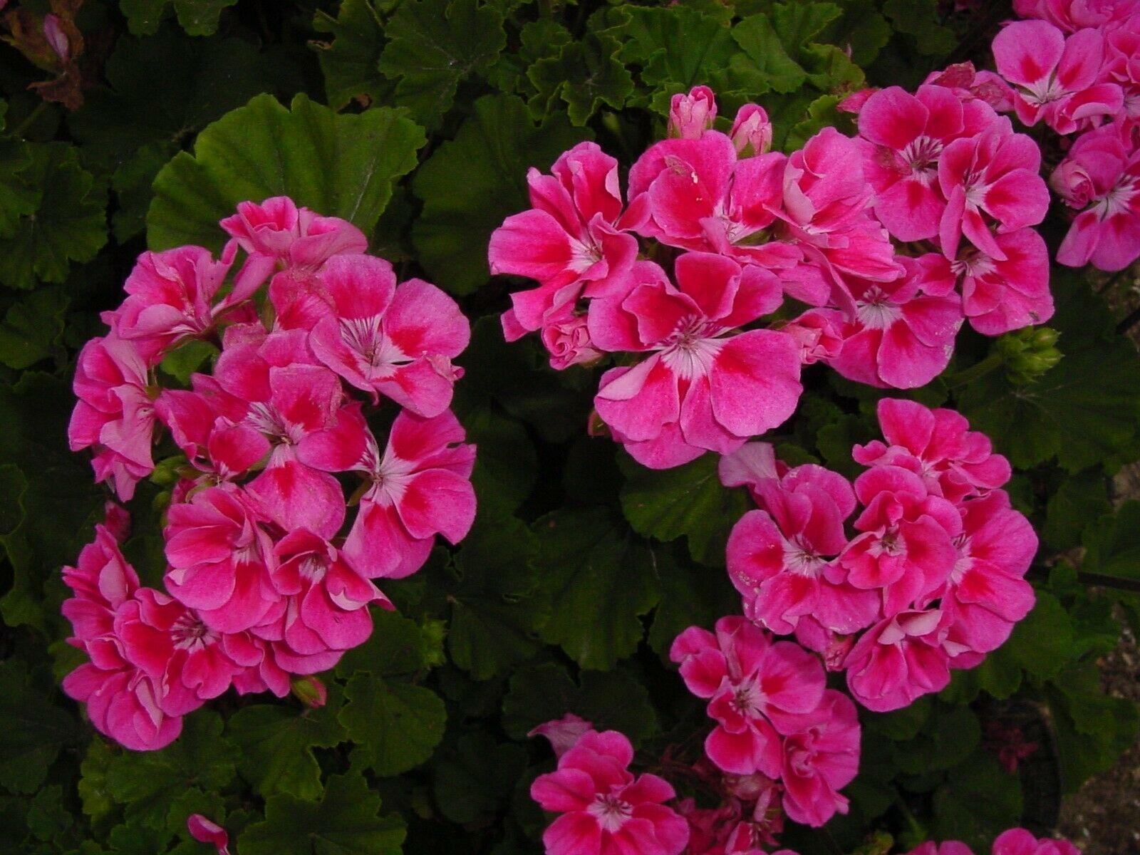 50 Bright Pink Geranium Seeds Hanging Basket Perennial Flowers - TTS - $29.95