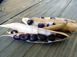 Succotash Bean - these very unusual beans look just like kernels of blue... - $4.25