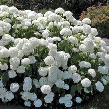 """Old Fashion Snowball Viburnum 4""""pot Viburnum opulus roseum image 2"""
