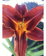 Hot Lips Daylily Red Live Plant 3-5 Stems - $16.63