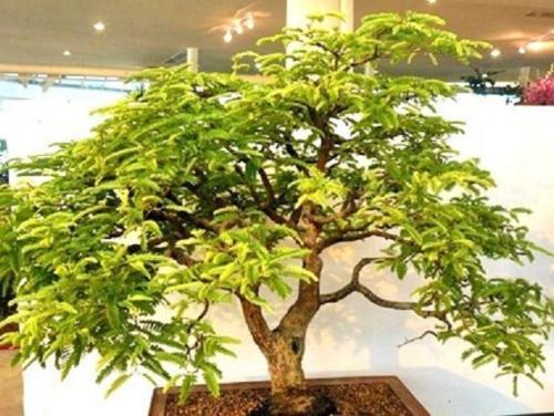 Tamarind tree, Tamarindus indica tropical edible fruit wood bonsai seed-15 SEEDS