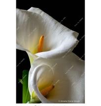 HAPPY FLOWER 2 Pcs True WHITE Calla Lily Bulbs Flower Zantedeschia Love ... - $2.38