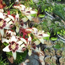 HAPPY FLOWER 2 Bulbs BUMIAYU True Lily Bulbs Perfume Flower High germina... - $2.99