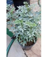 "Rue Plant - Ruda - Common Rue Herb of Grace - 10"" to 1.5 Ft Tall - From ... - $31.31"
