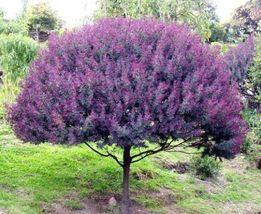 Cootamundra tree Acacia Baileyana Purpurea rare... - $8.50
