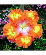 20 Seeds/bag 9 Colors Dinnerplate Hibiscus/ Perennial Flower  Easy to Gr... - $7.59